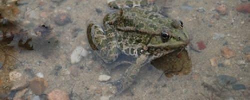 ic_medium_w900h600q100_grenouille-verte